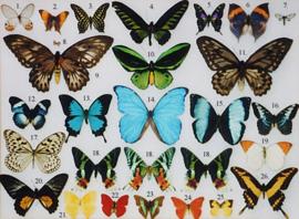 Opgezette Vlinders & Insecten & Dieren