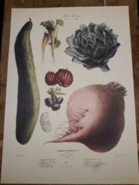 Botanische Prent Vilmorin -The Vegetable Garden- Groente Art Print nr16