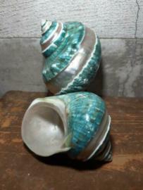 Turbo Marmoratus Groen Turquoise Jade 8-10 cm Grote Schelp Banded