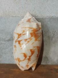 Grote Voluta Nobilis Schelp - 11 cm
