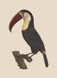 Kaart Ansichtkaart Toekan - Toucan