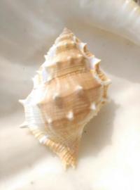 Bufonaria Frogshell Grote Schelp - 8-9 cm