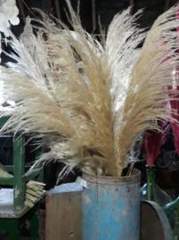 Gedroogde Pampasgras Pampas Grassen Cortaderia Droogbloemen XL Fluffy