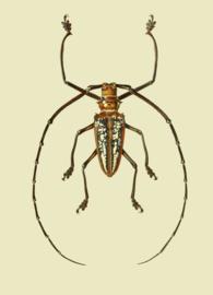 Kaart Ansichtkaart Boktor - Longhorn Beetle