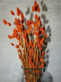 Gedroogde Bos Phalaris Cognac Oranje Roest Droogbloemen Kanariegras