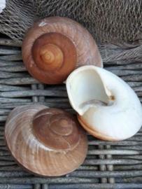 Landslak Lamarkiana 7-9 cm Grote Schelp