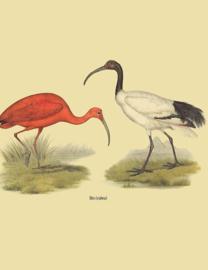 Kaart Ansichtkaart Ibis Vogel