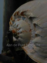 Melo Broderipi - Diadema Grote Schelp 23-25 cm