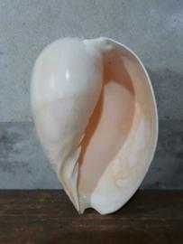 Melo Broderipi - Diadema Grote Schelp 17-19 cm