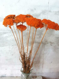Bos Droogbloemen Gedroogde Achillea Oranje