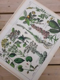 Oude Antieke Botanische Chromolitho Prent Schubert 1887