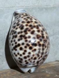 Cyprea Tigris Tijgerschelp Schelpen  7-9 cm