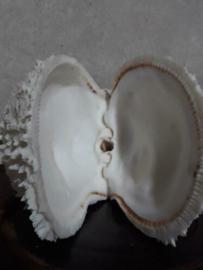 Spondylus Varians Grote Schelp 20 cm Stekeloester