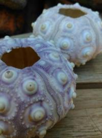Zeeegel Spoetnik Sputnik Heterocentrotus Zee Egel 5-6 cm