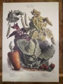 Botanische Prent Vilmorin -The Vegetable Garden- Groente Art Print nr42