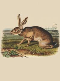 Kaart Ansichtkaart Haas - Hare