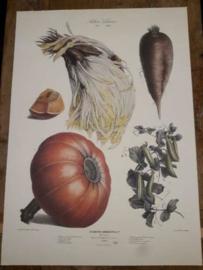 Botanische Prent Vilmorin -The Vegetable Garden- Groente Art Print nr17