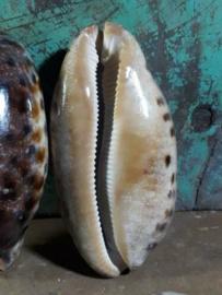 Cyprea Testudinaria Grote Schelp 10-12 cm