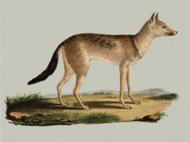 Kaart Ansichtkaart Vos - Fox