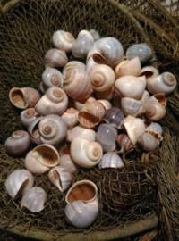 Escargot Slakkenhuisjes Schelpen - 250 gram 2.5-4.5 cm Naturel
