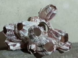 Zeepokken Zeepok Roze Zeetulp - Grote Cluster 10-15 cm