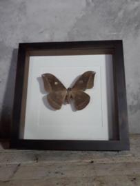 Opgezette Vlinder Anteraea Jana Uilenoog in Walnoot Houten Lijst