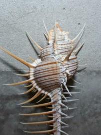 Murex Trochelli Venuskam 14-15 cm Grote Schelp