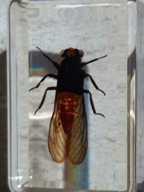 Insect in Hars - Rode Cicade
