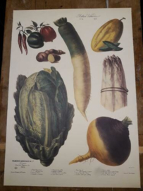 Botanische Prent Vilmorin -The Vegetable Garden- Groente Art Print nr10