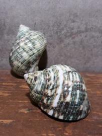Turbo Bruneus Groen Turquoise 5.5-6.5 cm Grote Schelp