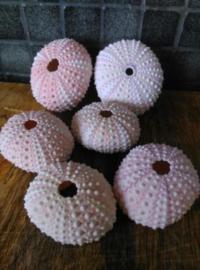 Roze - Witte Zee Egel Zeeegel 4.5-6 cm 6 stuks