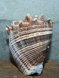 Melogina Grote Schelp 10-13 cm