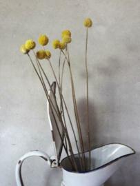Gedroogde Bos Craspedium Drumsticks Geel Droogbloemen