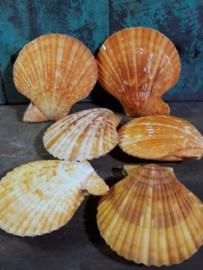 Pecten Nobilis Dubbel Oranje Grote Schelp 7-8 cm