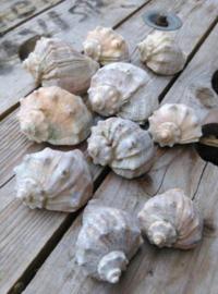 Set Murex Schelpen - 5-8 cm 10 stuks