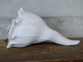 Busycon carica - Wulk Whelk Grote Schelp 21-23 cm