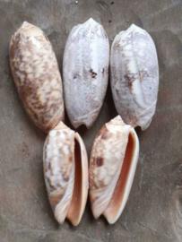 White Olive Schelpen 6 cm