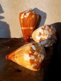Conus Caramel 9-10 cm Grote Schelp