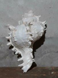 Grote Murex Schelpen 16-18 cm