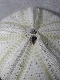 Grote XL Groene Zee Egel Zeeegel 13-15 cm