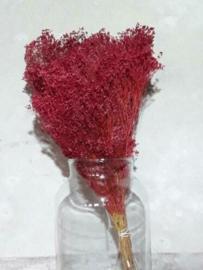 Gedroogde Bos Bloom Broom Cerise Rood Droogbloemen