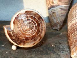 Conus Pigulinis 7.5-8.5 cm Grote Schelp