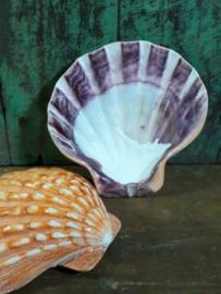 Gladde Pecten Subnodosus Gepolijst Grote Schelp 13 cm