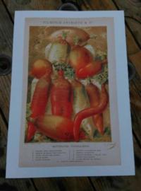 Oude Botanische Vilmorin Prent The Vegetable Garden nr 48