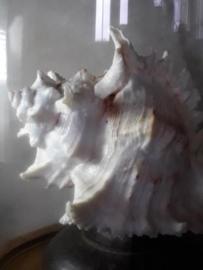 Murex Ramosus Grote Schelp 18 cm in Stolp