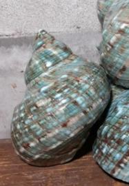 Turbo Marmoratus Groen Turquoise Jade 8-10 cm Grote Schelp