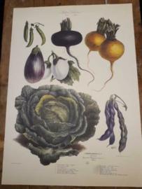 Botanische Prent Vilmorin -The Vegetable Garden- Groente Art Print nr21