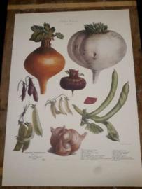 Botanische Prent Vilmorin -The Vegetable Garden- Groente Art Print nr22