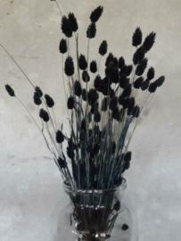 Gedroogde Bos Phalaris Zwart Droogbloemen Kanariegras