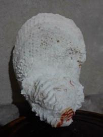 Spondylus Varians Grote Schelp 18.5 cm Stekeloester
